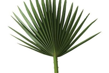 Rich, green fronds are one sign of a well-fertilized palm.