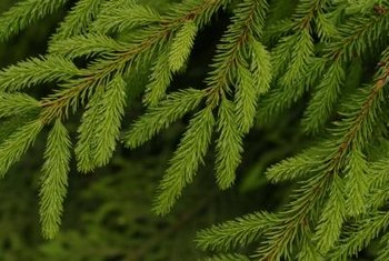 Spruce trees are thick and full year round.