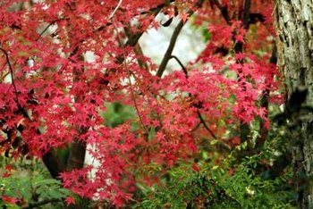 Foliage color depends on the Japanese maple cultivar.