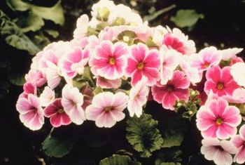 Some primroses are multi-colored.