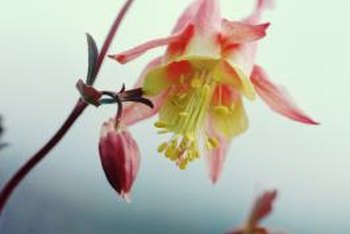 Columbine flowers are often bicolored with yellow or white centers.