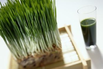 At harvest time, wheatgrass is about 6 inches tall.
