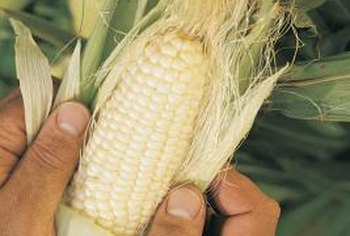 """Trucker's Favorite"" white corn belongs to the sweet corn classification."