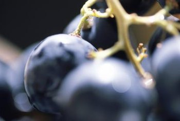 Concord grapes are used to make juices, jellies and wines.