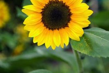 Sunflowers provide shade for cucumbers; cucumbers provide living mulch for sunflowers.