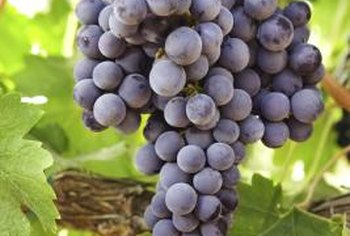 If you grow grapes on rich soil you might not have to fertilize them.