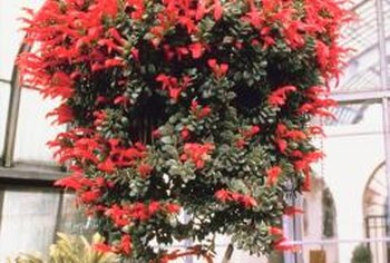 Hanging baskets are naturals for displaying vines.