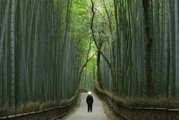 Some bamboo species grow as tall as trees.