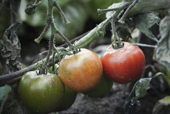 Pathogenic fungi are a major cause of tomato wilt and rot.