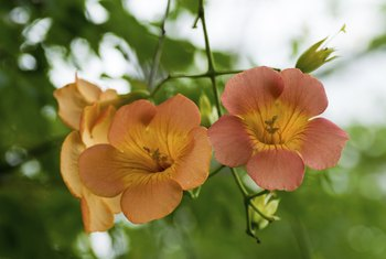 Early spring pruning helps control trumpet vine and doesn't affect flowering.