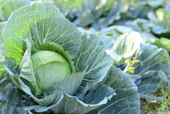 Cutting close to the bottom of the cabbage head will give the plant more stalk to grow new heads.
