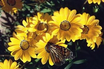 Butterflies are attracted to brightly colored gazania blooms.