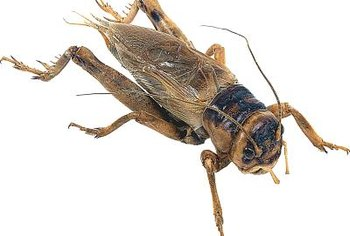 Crickets occasionally find their way indoors but seldom reproduce inside homes.