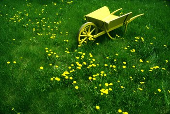 Spraying a large area of dandelions with vinegar can also harm the grass.