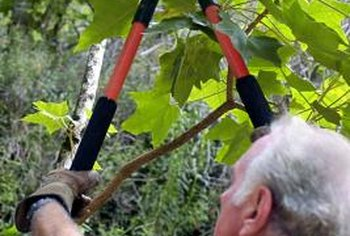 Lopping shears make quick work of thick or overhead branches.