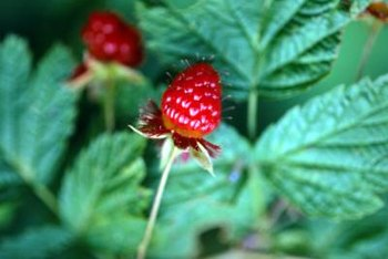 Leaves of raspberry bushes are broad and flat.
