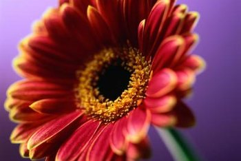 Bold Gerbera daisies flower best when their roots aren't crowded.