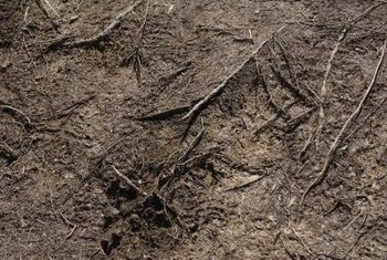 The relatively small roots of the American beautyberry help trap soil.