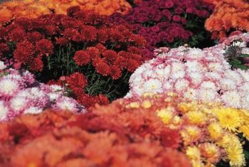 Mums come mainly in warm color tones that harmonize with fall foliage.