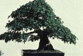 Fabulous How To Wire Shape Bonsai Plants Home Guides Sf Gate Wiring 101 Mecadwellnesstrialsorg