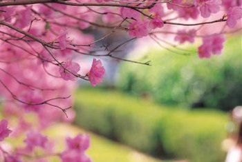 Pink blossoms fill the branches of weeping cherry trees each spring.