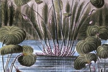 Papyrus plants give water gardens an exotic look.