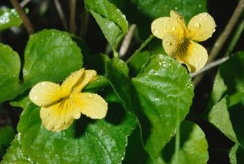 California golden violet has yellow blooms with purple-brown streaks.