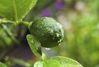 Fertilize well for juicy Kaffir limes.