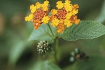 Lantana flowers darken as they age, changing from yellow to gold, orange, pink or red.