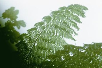 Tree ferns typically grow in humid, shady sites.
