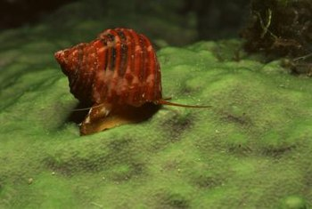 Snails can promote a healthy, harmonious pond environment.
