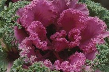 Ornamental kale often has frilly, curled leaves.