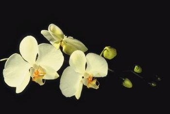 Botrytis blight and viruses can affect the appearance of orchid blooms.