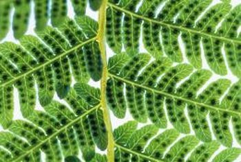 Spores on fern fronds are initially green before maturing and turning brown.