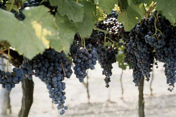 Concord grapes are often used in the making of pinot noir wine.