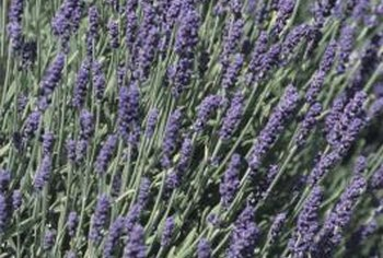 Lavender grows somewhat slowly from seed.