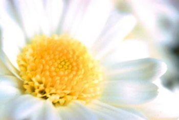 Shasta daisies produce large bright blossoms.