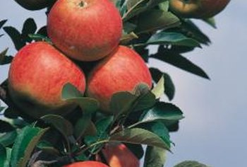 Grow your own tree from seeds taken from a favorite apple cultivar.