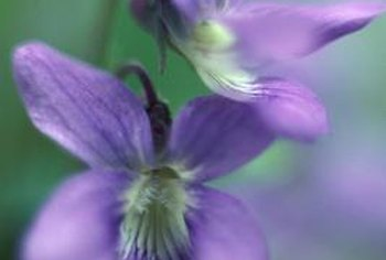 Violets are members of the genus Viola.