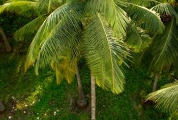 Palms are mostly tropical plants, and many species grow best in warm climates.