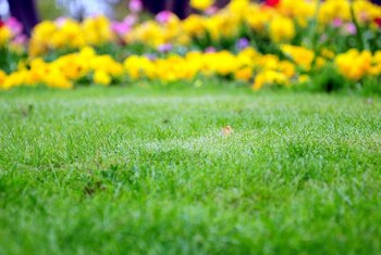 Miracle-Gro LiquaFeed is also suitable for fertilizing flowers and shrubs in a lawn.