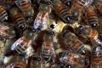 Honeybees usually swarm in late spring and early summer.