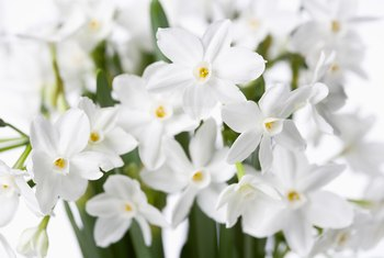 Paperwhites potted in soil survive better than those grown in pebbles and water.