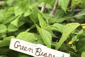 Healthy green beans have entirely green leaves with now yellowing, wilt or brown patches.