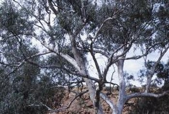 Gum tree bark can be strikingly beautiful and an effective background to under-tree planting.