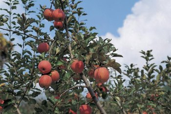 Fruit trees deficient in phosphorus may produce a poor fruit crop.