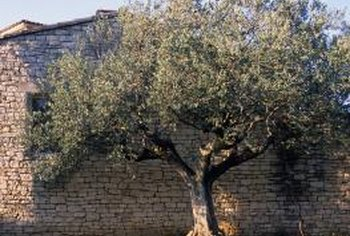 Olive trees are highly drought-tolerant once established.