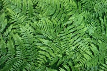 Lady ferns are understory plants that make good ground cover.