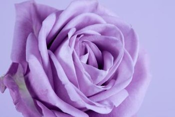 Purple roses range in shades of soft lavender and violet to deep magenta.