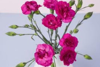 Carnations bloom in a host of bold or subtle hues.